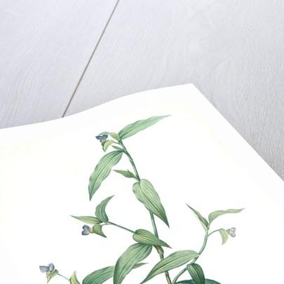 Commelina vulgaris, Commeline vulgaire by Pierre Joseph Redouté