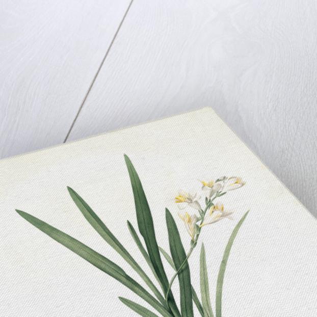 Gladiolus Xanthospilus, Freesia refracta; Glaïeul à taches jaunes by Pierre Joseph Redouté