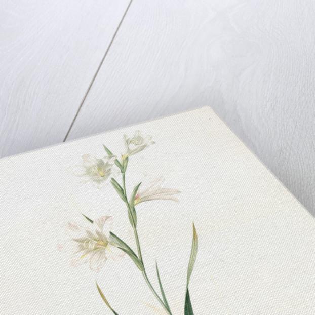 Gladiolus carneus, Glaïeul couleur de chair, Flesh-colored Sword-Lily by Pierre Joseph Redouté