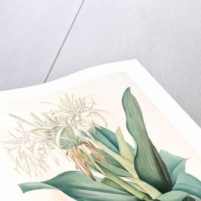 Crinum asiaticum, Crinum d'Asie, Poison bulb by Pierre Joseph Redouté