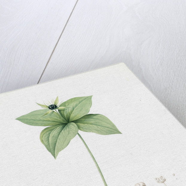 Paris quadrifolia, Parisette à quartre feuilles; Herb Paris, True-Love, or One-Berry by Pierre Joseph Redouté