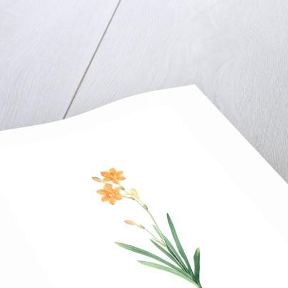Montbretia, Tritonia securigera; Montbretie, Copper-colored Corn flag by Pierre Joseph Redouté