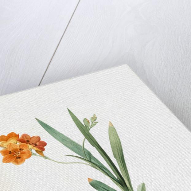 Ixia miniata, Tritonia deusta; Ixia minimum, Copper-color Tritonia by Pierre Joseph Redouté