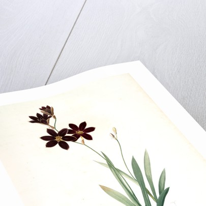 Ixia grandiflora, Ixia à grande fleur by Pierre Joseph Redouté