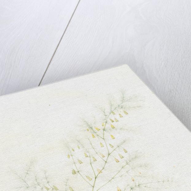 Asparagus tenuifolius, Asperge à feuilles menues by Pierre Joseph Redouté