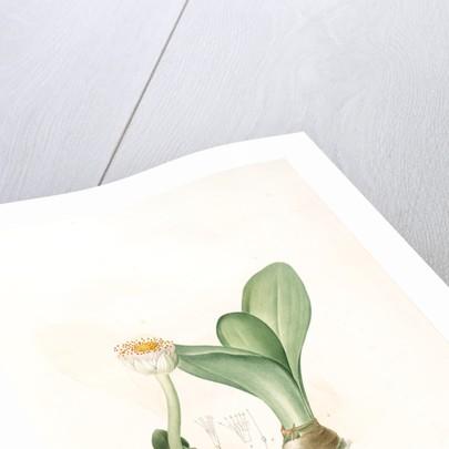 Hæmanthus albiflos; Hemanthe à fleurs blanches by Pierre Joseph Redouté