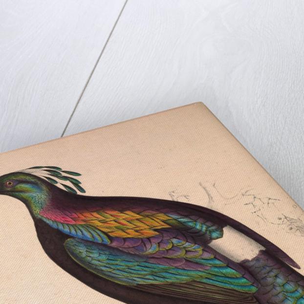 Lophophorus Impeyanus Male Himalayan Monal Pheasant Posters Prints By Elizabeth Gould And John Gould