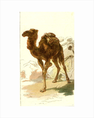 Camel 1885 Algeria by Anonymous