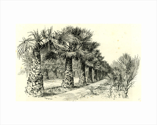 A Palm Grove in Southern California 1891 USA by Anonymous