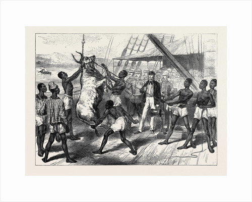 The Ashantee War: Shipping Bullocks at Sierra Leone for Cape Coast Castle 1874 by Anonymous