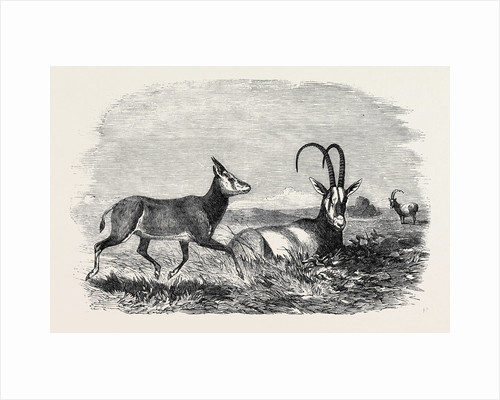 Leucoryx and Young, in the Gardens of the Zoological Society, Regent's Park, London by Anonymous