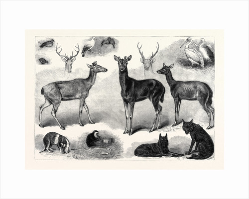 New Animals and Birds in the Zoological Society's Gardens Regent's Park London UK 1867 by Anonymous