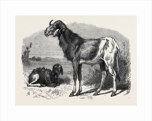 Long-Eared African Sheep in the Zoological Society's Gardens Regent's Park 1866 by Anonymous
