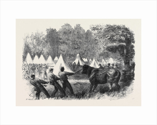 The War in America: Quartermaster's Department Killing Bullocks in the Federal Camp Virginia by Anonymous
