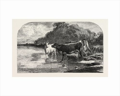 Cows at the Watering Hole, Engraving 1855 by Anonymous