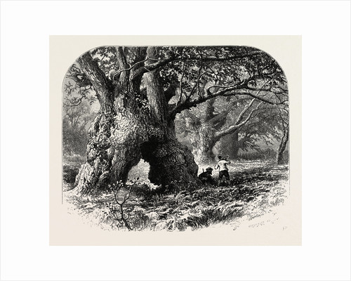Oaks in Needwood Forest, the Forest Scenery of Great Britain by Anonymous