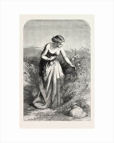 Exhibition of the Society in Water Colours: The Lily by Anonymous