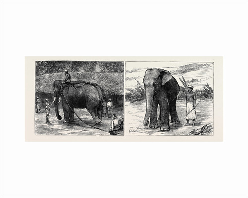 Elephant Hunting in Ceylon: A Tame Elephant Dragging Timber, A Sacred Elephant and His Keeper by Anonymous