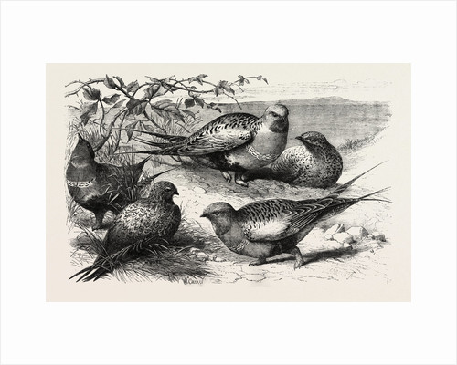Pallas Sand-Grouse (Syrrhaptes Paradoxus) in the Zoological Society's Gardens Regent's Park London UK by Anonymous