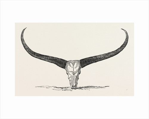 Skull and Horns of a Wild Buffalo Shot in Central Assam 1854 by Anonymous