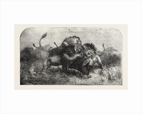 Dr Livingstone's Missionary Travels and Researchers in South Africa: Three Lions Attempting to Drag Down a Buffalo by Anonymous