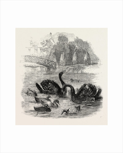 Black Swans and Their Young, at Culvers, Surrey, the Seat of S. Gurney, Esq., MP. 1859 by Anonymous