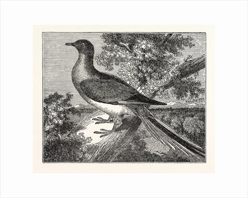 Passenger-Pigeon by Anonymous