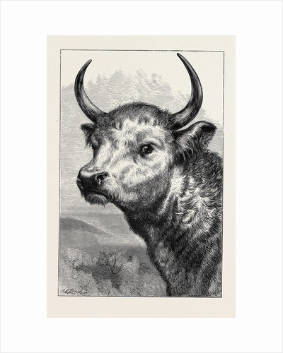 Head of the Chillingham Wild Bull, Shot by H.R.H. The Prince of Wales by Anonymous