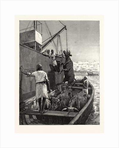The Cattle Trade, Landing Bullocks at Tangier, Morocco by Anonymous