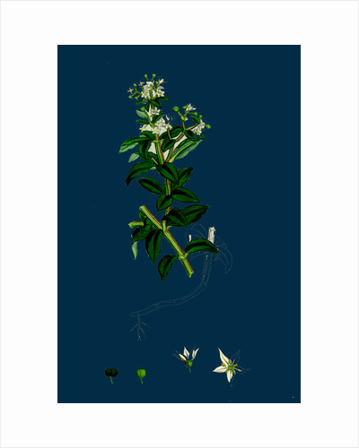 Rubia Peregrina; Wild Madder by Anonymous