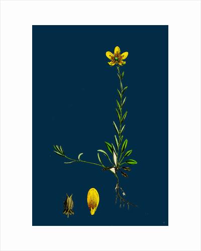 Saxifraga Hirculus; Yellow Marsh Saxifrage by Anonymous