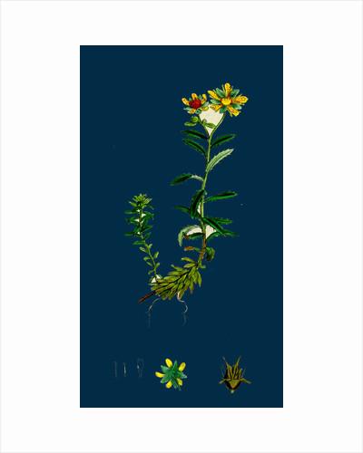 Saxifraga Aizoides; Yellow Mountain Saxifrage by Anonymous