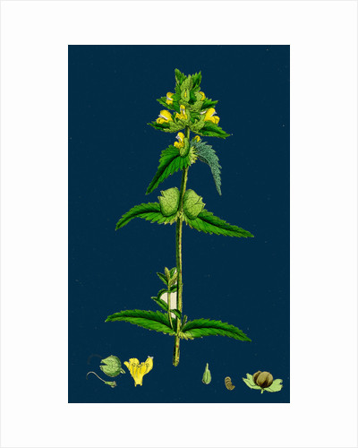 Rhinanthus Minor; Common Yellow-Rattle by Anonymous
