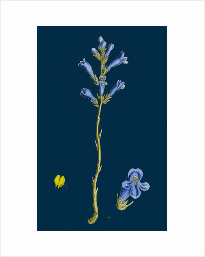 Orobanche Arenaria; Sand Broom-Rape by Anonymous
