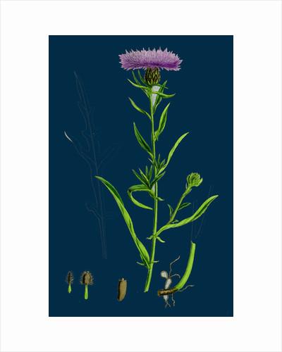 Centaurea Nigra, Var. Decipiens; Black Knapweed, Var. B. by Anonymous