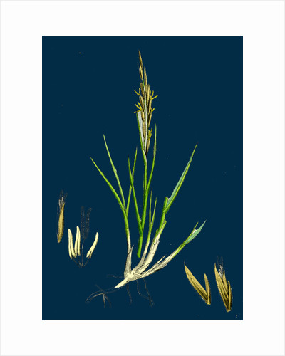 Spartina Stricta; Twin-Spiked Cord-Grass by Anonymous