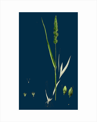 Setaria Verticillata; Rough Bristle-Grass by Anonymous