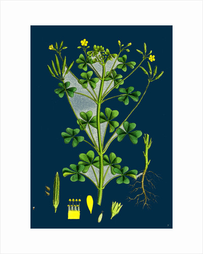 Oxalis Stricta; Upright Yellow Sorrel by Anonymous