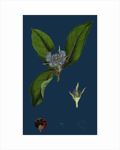 Mespilus Germanica; Wild Medlar by Anonymous