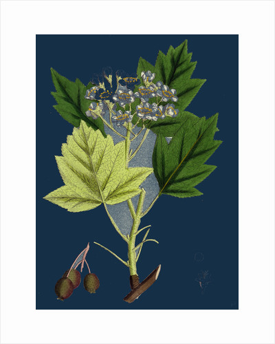 Pyrus Torminalis; Wild Service-Tree by Anonymous