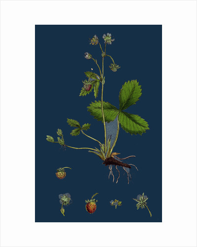 Fragaria Vesca; Wild Strawberry by Anonymous