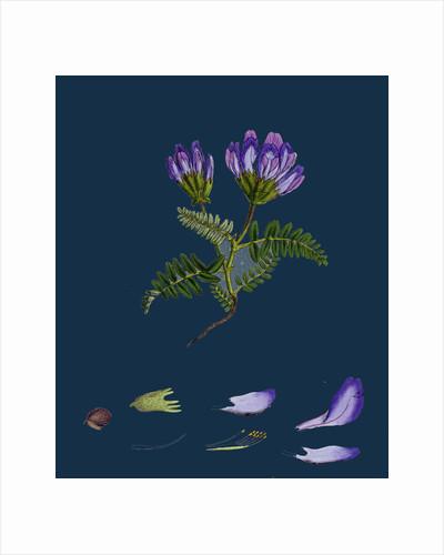 Astragalus Hypoglottis; Purple Milk-Vetch by Anonymous
