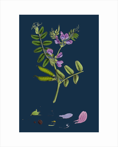 Vicia Sepium; Bush Vetch by Anonymous