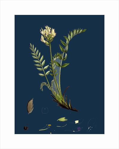 Oxytropis Campestris; Pale-Yellow Oxytropis by Anonymous