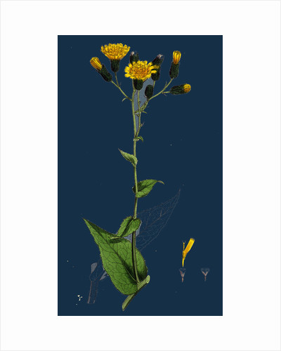 Hieracium Prenanthoides; Rough-Leaved Hawkweed by Anonymous