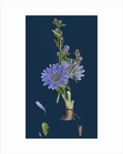 Cichorium Intybus; Wild Succory by Anonymous