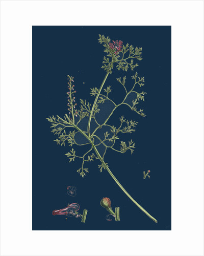 Fumaria Micrantha; Close-Flowered Fumitory by Anonymous