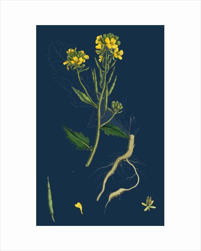 Brassica Sinapistrum; Wild Mustard by Anonymous