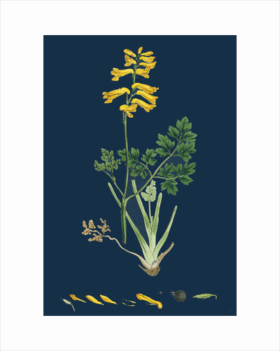 Corydalis Intea; Yellow Fumitory by Anonymous
