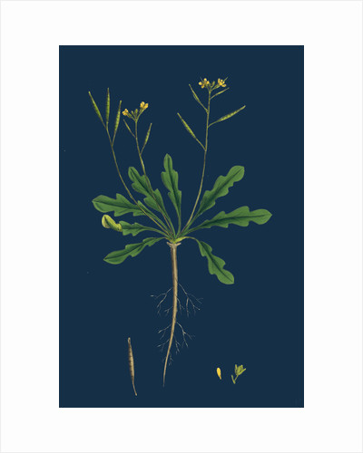 Brassica Viminea; Small Sand Rocket by Anonymous
